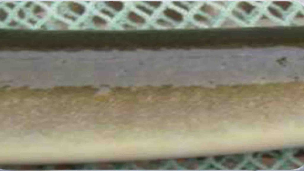 anguille jaune 2